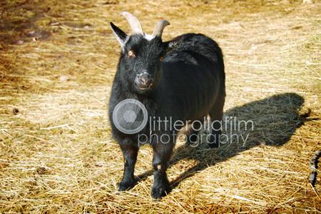 Goat-3